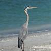 Great Blue Heron, Captiva Island, Florida, USA