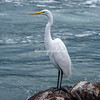 Great White Egret, Loreto harbor, Mexico