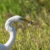 Great white egret eating a lizard