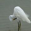 Snowy Egret, Sanibel