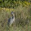 Great Blue Heron on the beach, Captiva Island, Florida, USA
