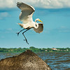 Great white egret on Lake Nicaragua