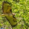 Red-tailed Hawk, Palo Alto, California, USA