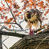 Red-tailed Hawk with prey, Riverside park, New York City