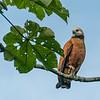 Black-collared Hawk, Upper Amazon, Peru