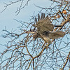Red-tailed Hawk diving