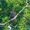 Mangrove Hawk, Nicaragua,