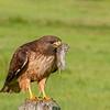 Red-tailed Hawk with prey, Palo Alto, California, USA
