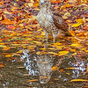 Red-tailed Hawk standing in a puddle