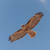 Red-tailed Hawk,  Grand Tetons, Wyoming, USA