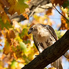 Red-tailed Hawk, Riverside park, New York City