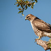 Red-tailed Hawk and the bee, Palo Alto, California, USA