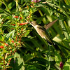 Female Ruby-throated Hummingbird, Forest Park St Louis