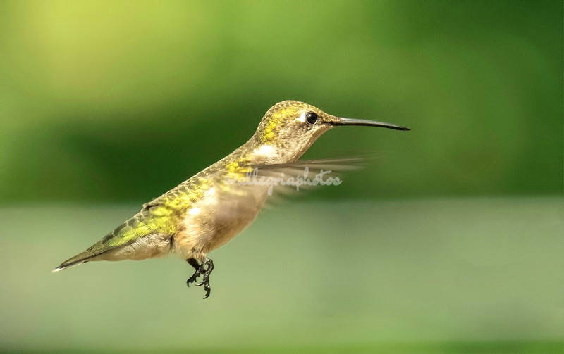 A female Ruby-throated Hummingbird in flight, St Louis, Missouri, USA