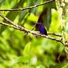 Violet Sabrewing Hummingbird, Costa Rica