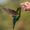 Hummingbird attracted to hand held flower, Costa Rica