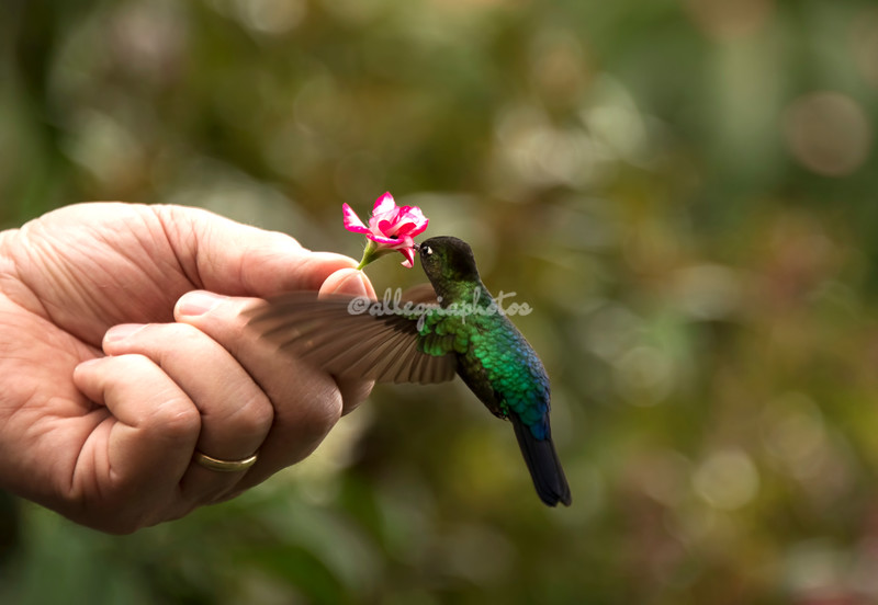 Hummingbird attracted to a handheld flower
