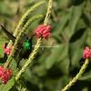 Rufous tailed hummingbird in flight