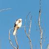 White tailed kite, Palo Alto wetlands, California