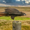 "Striated Caracara, ""Johny Rook"", Falkland Islands, South Atlantic Ocean"