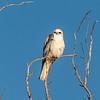 White-tailed Kite, Palo Alto Wetlands, California, USA