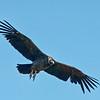 Condor, Torres del Paine, Patagonia, Chile