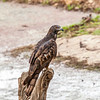 Honey Buzzard, Ranthambore National Park, India