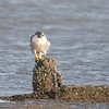 Peregrine Falcon, New York Harbor, Port Liberte, New Jersey, USA