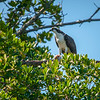 Osprey with a catch, Sanibel Island, Florida, USA