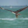 Osprey gathering nesting material, Sanibel Island, Florida, USA