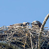 Osprey feeding its chick, Sanibel Island, Florida, USA