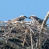 Osprey with its chick, Sanibel Island, Florida, USA