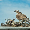 Osprey on its nest, Sanibel Island, Florida, USA