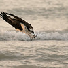 Osprey diving talons first