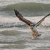 Osprey catching a fish, Sanibel island, Florida, USA