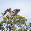 Osprey taking flight, Sanibel Island, Florida, USA