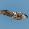Osprey in flight with a fish,  Sanibel Island, Florida, USA