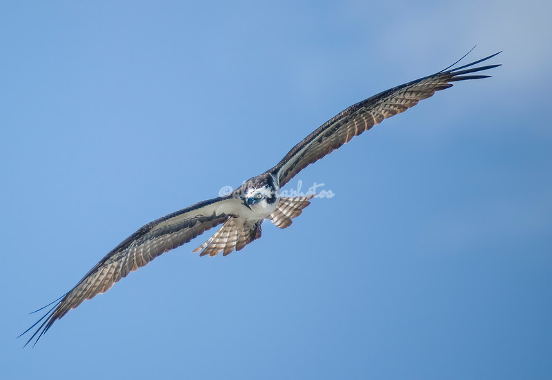 Osprey in flight, Sanibel Island, Florida, USA