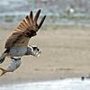 Osprey with a catch, Port Liberte, New Jersey, USA