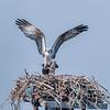 Ospreys mating, Sanibel Island, Florida, USA