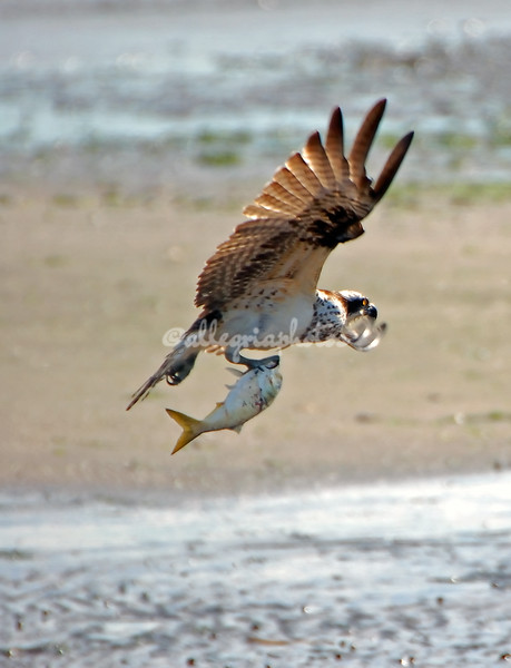 Osprey and fish in flight
