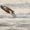 Osprey diving into the Gulf, Sanibel Island, Florida, USA