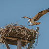 Osprey landing on its nest, Sanibel Island, Florida, USA