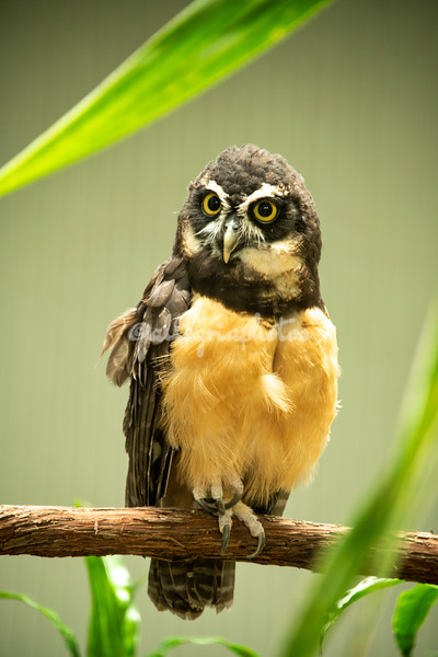 Spectacled owl from South America