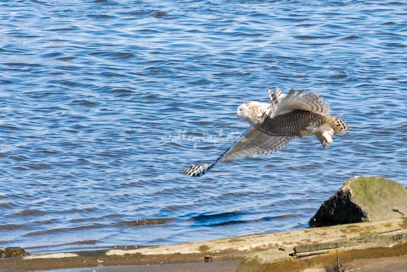 Snowy Owl in flight, New York Harbor, USA