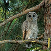 Barred Owl (juvenile), Missouri Botanical Garden, St Louis, Missouri, USA
