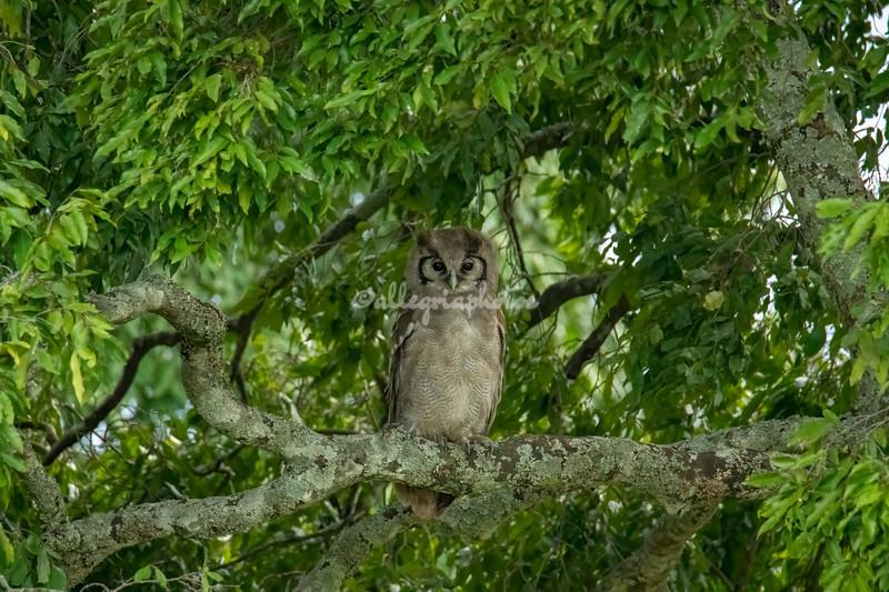 Eagle Owl, Maasai Mara, Kenya