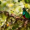Resplendent female Quetzal, Costa Rica
