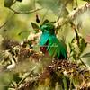 Female quetzal, Costa Rica