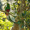 Resplendent Male Quetzal, Costa Rica